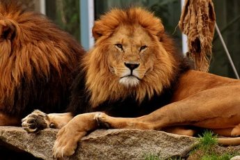 wild cats lion