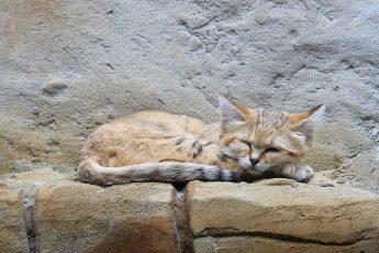 dune Sand cat