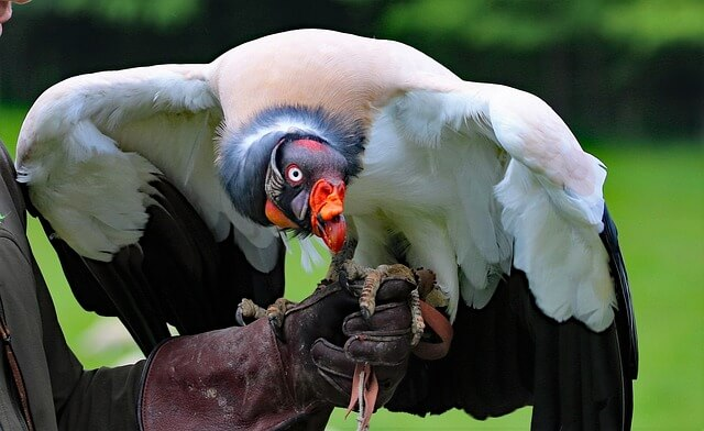 Сondor bird